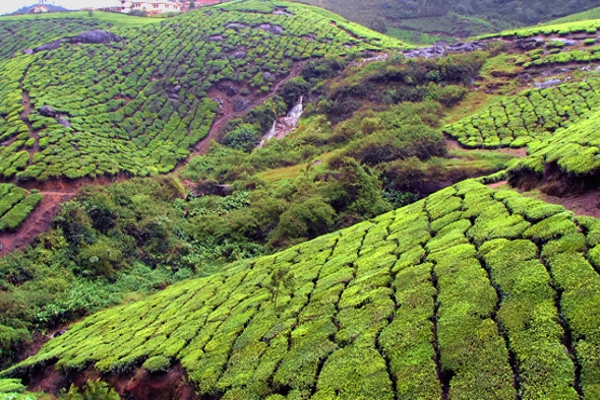 India - Kerala - Munnar Plantations - Voyages Personnalisés