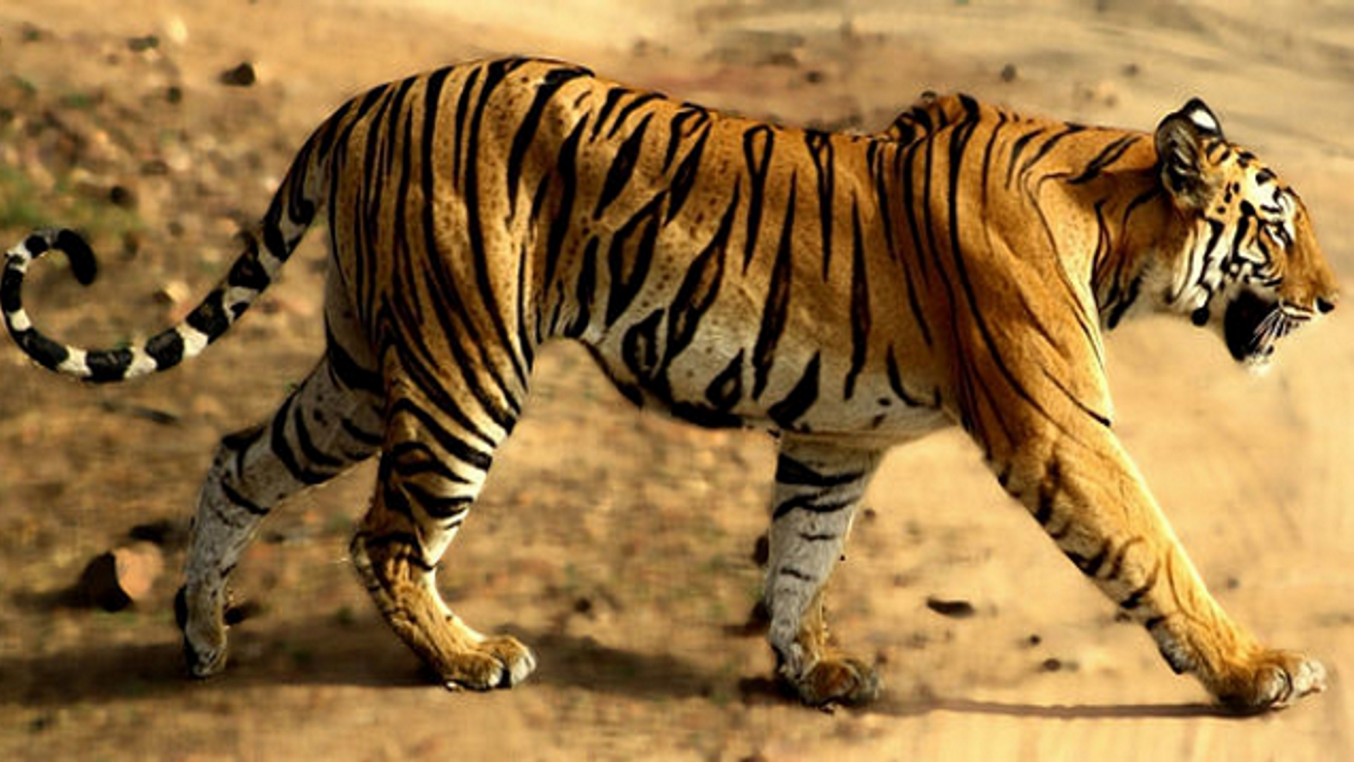 Holidays India Tiger Focus Tailor Made Adventures